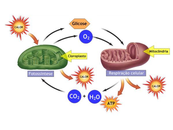 Photo of Fotossíntese e respiração celular