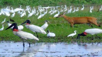 Foto de Características gerais do Bioma Pantanal